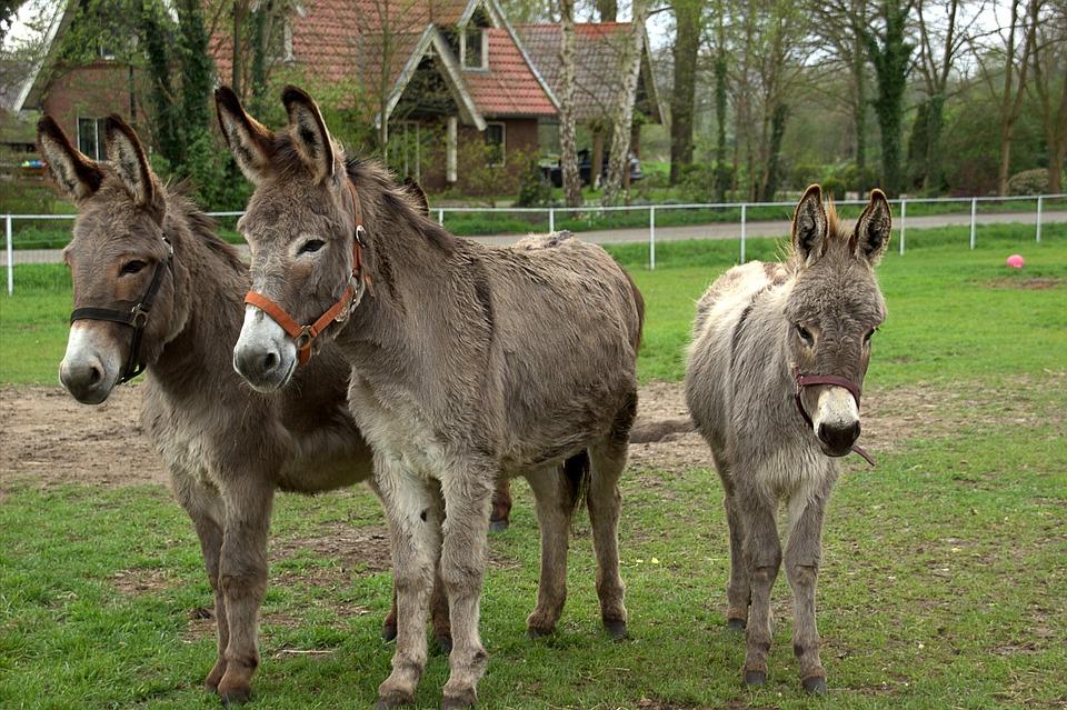 donkeys-2449993_960_720