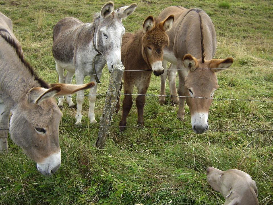 donkeys-291562_960_720